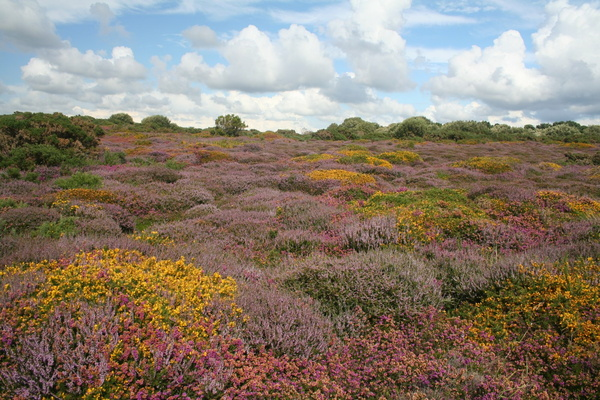Heather at Portelet Common