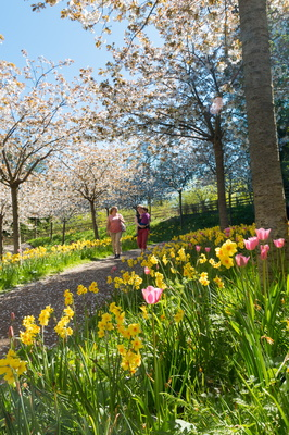 Cherry trees - Alnwick Garden