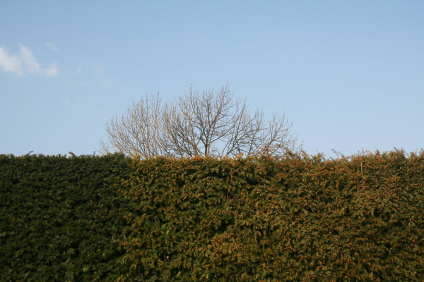 Hedge, tree and sky